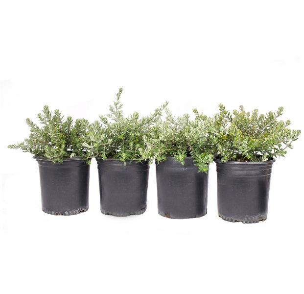 a four pack of Mundi westringia a beautiful ground cover shrub with masses of flowers