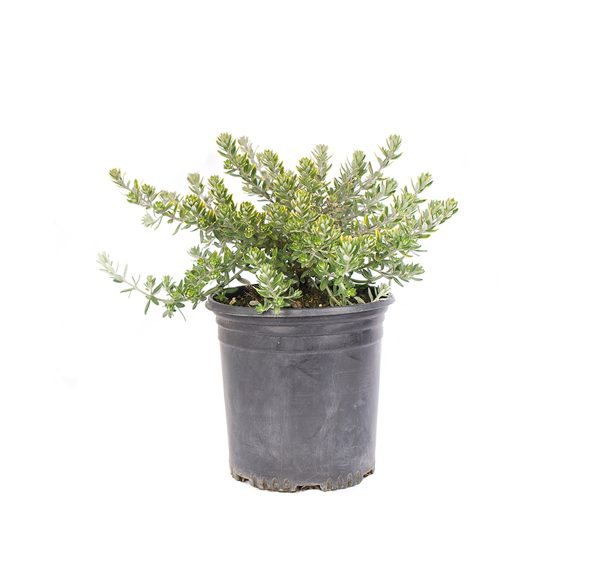 Mundi Westringia plant in a black nursery container