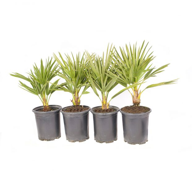 four pack of European fan palm on of the hardiest palms