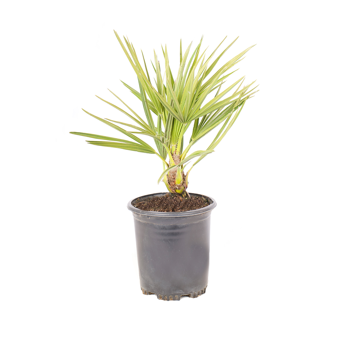 a single potted plant of European fan palm on of the hardiest palms