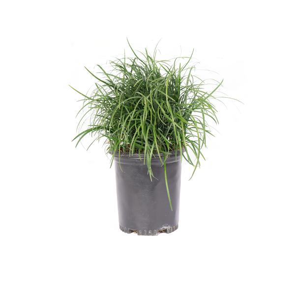 mondo grass in a black nursery pot