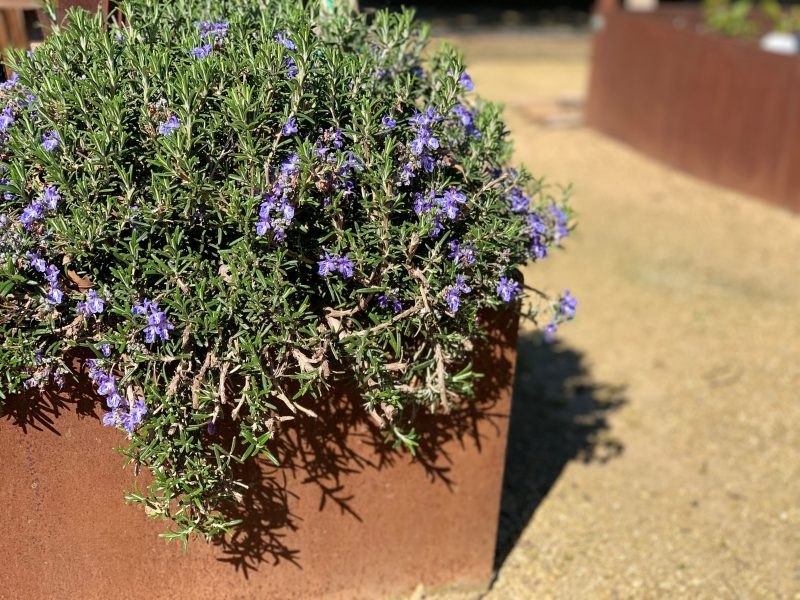 the Huntington carpet rosemary has an aromatic smell that brightens the mood and fresh snippets go great in a variety of of recipes, particularly baking and also in lemonade