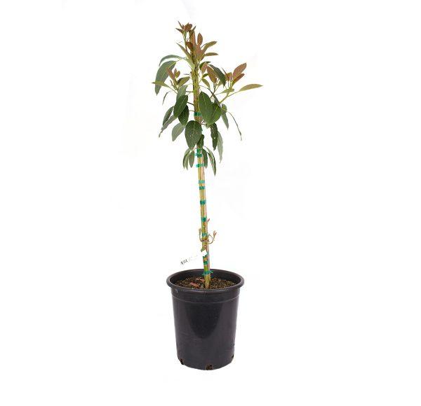 Avocado Fuerte Tree