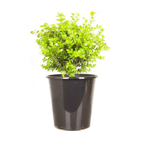 Buxus Winter Gem 5 gal planter image