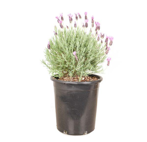 Spanish Lavender image