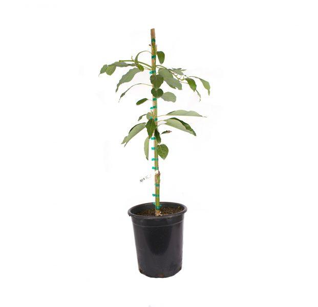 "Wurtz ""Little Cado"" Avocado Tree, or Persea americana 'Wurtz Littlecado'"