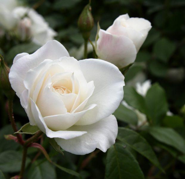 White Iceberg Rose