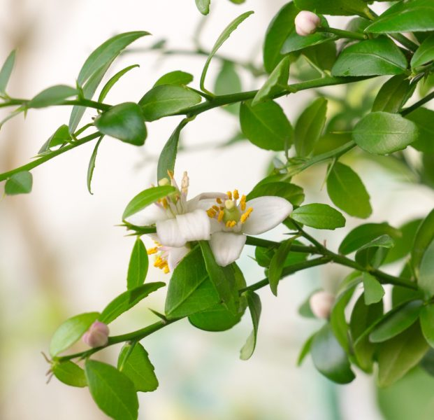 Finger Lime Tree
